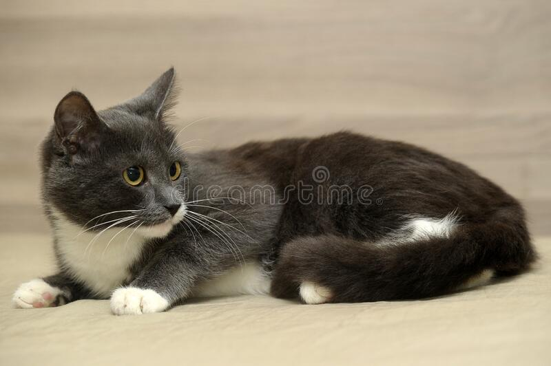 Grå med vit katt royaltyfri bild