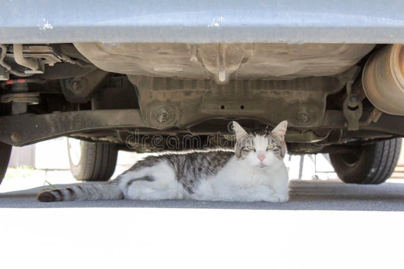 Grå och vit katt som lägger under bilen arkivfoton