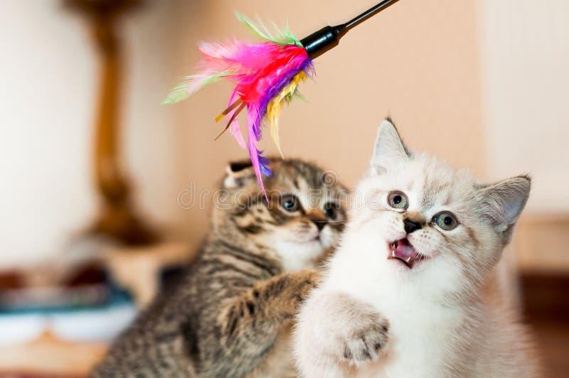 Grå och vit kattunge som spelar med leksaken arkivbild