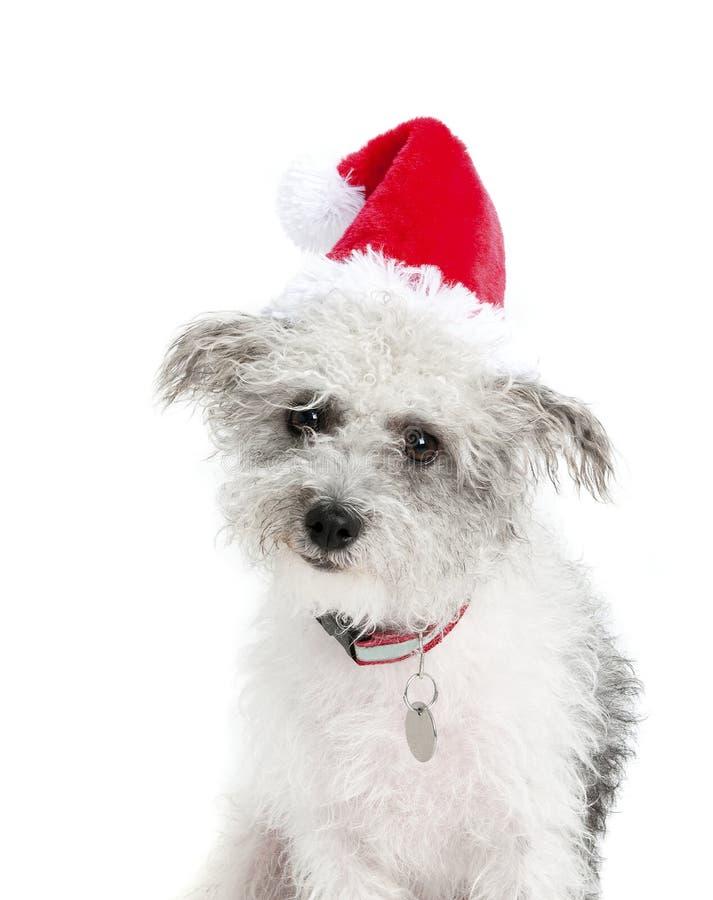 Grå och vit Terrier hund i röda Santa Hat royaltyfri bild