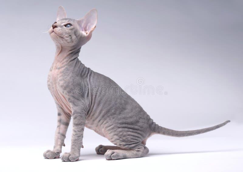 grå orientalisk peterbaldshorthair för katt arkivbilder