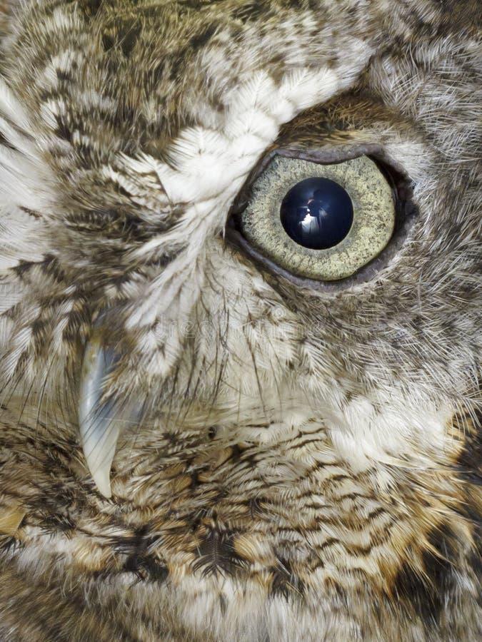 grå owl royaltyfri bild