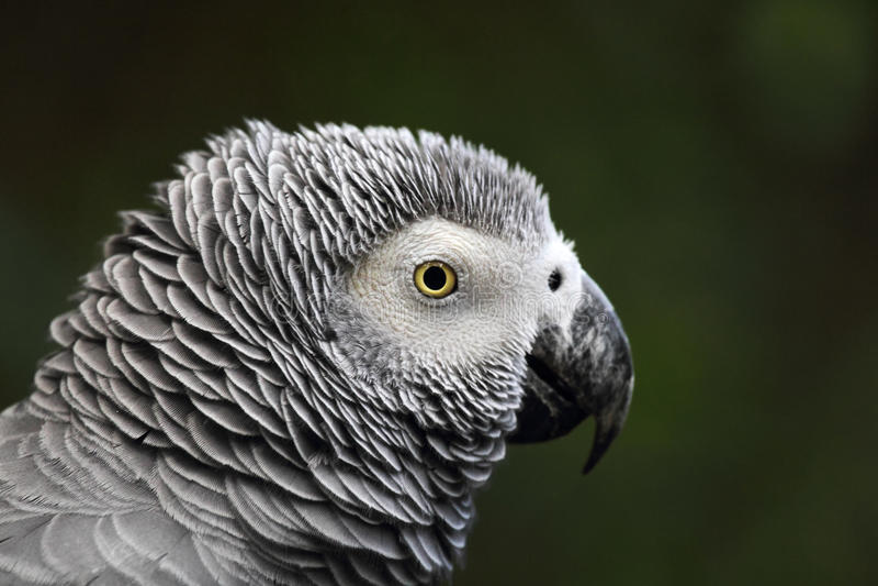 grå papegojapsittacus för afrikansk erithacus royaltyfri fotografi