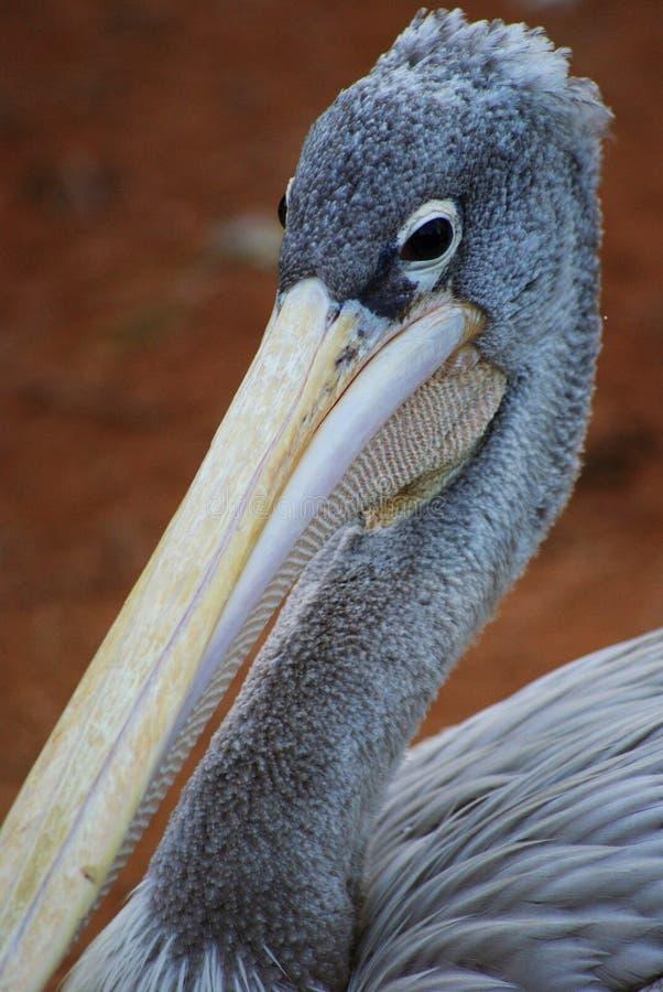 Grå pelikan på Bioparcen spain valencia arkivfoto