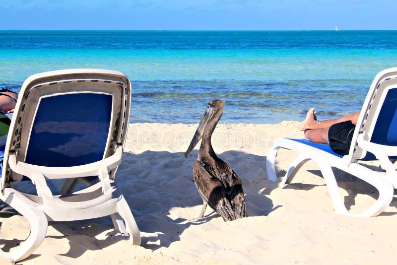 Grå pelikan på stranden, grund fokus royaltyfria bilder