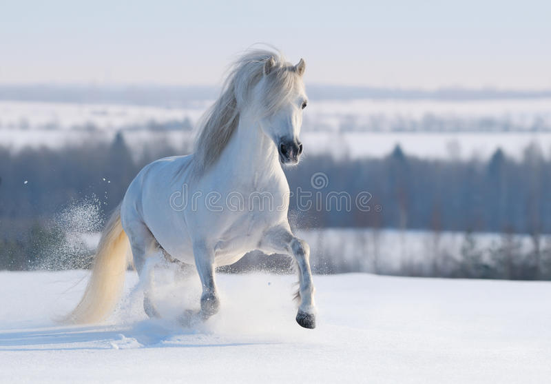 grå ponny welsh fotografering för bildbyråer