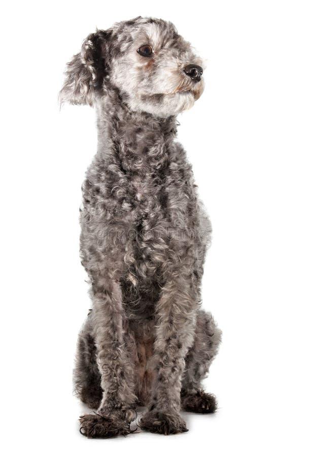 grå poodle arkivbilder