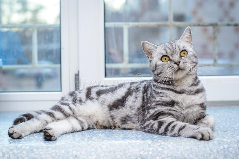 Grå randig katt som ligger på fönsterbrädan arkivbild