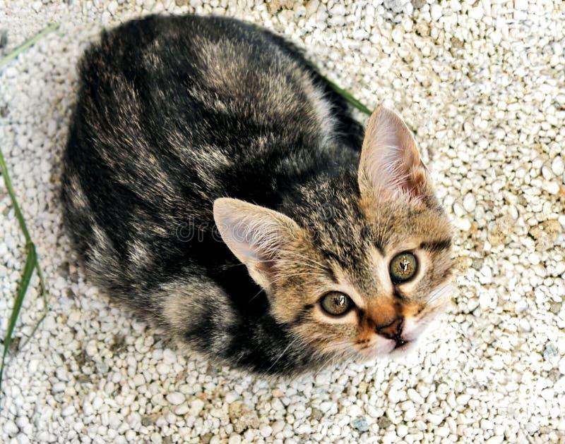 Grå randig kattunge som ser upp på gruset royaltyfria foton