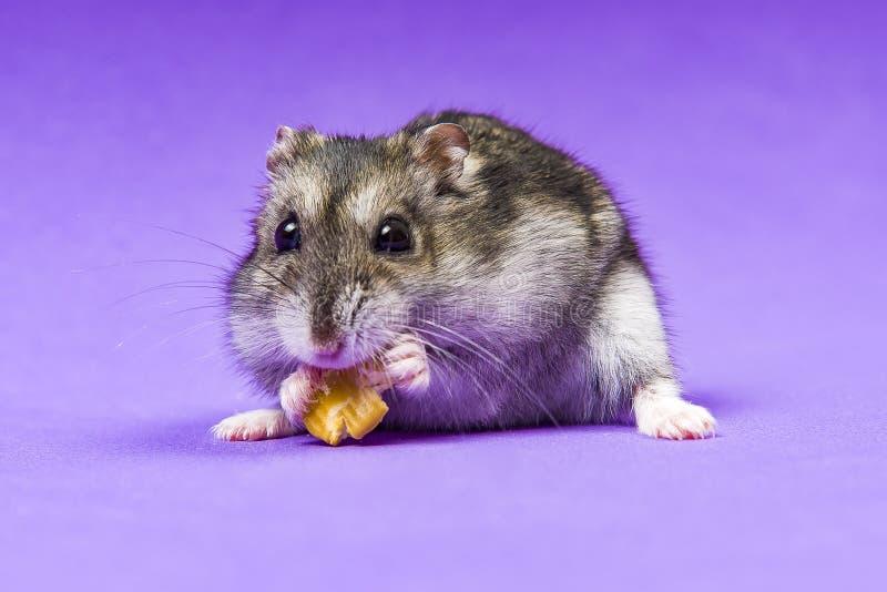 Grå Siberian för hamster på en lila blå bakgrund äter arkivbild