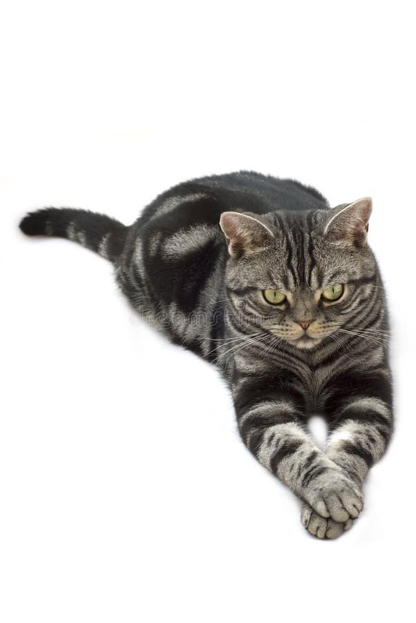 grå silvertabby för katt arkivbild