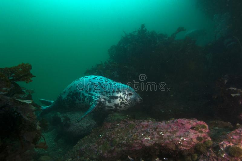Grå skyddsremsa som simmar i havet arkivbilder