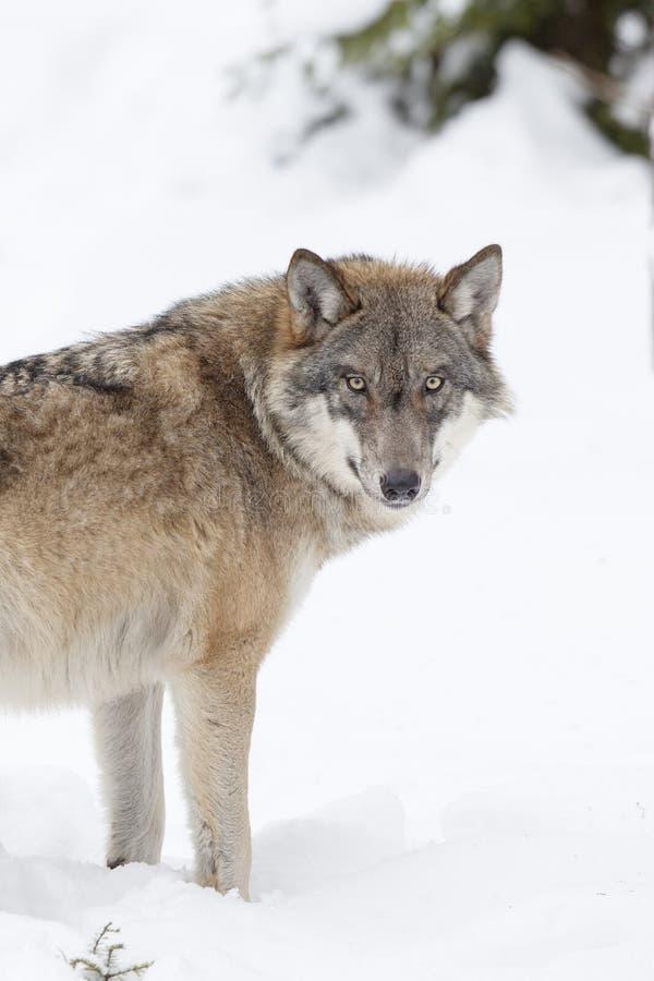 grå snowwolf royaltyfri fotografi