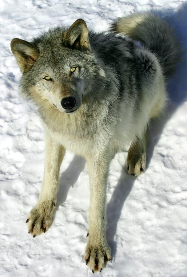 grå snowwolf royaltyfri bild