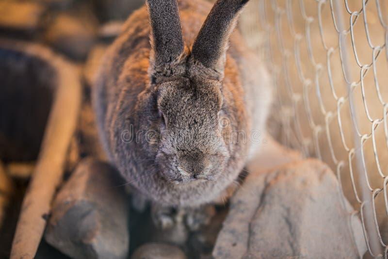 Grå stor fluffig kanin arkivbild