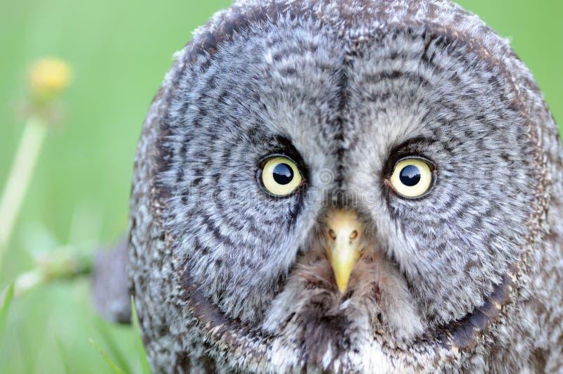 grå stor owlstående för tät framsida upp royaltyfri foto