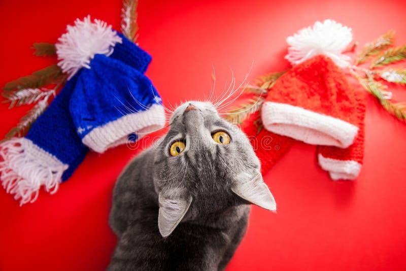 Grå strimmig kattkatt som väljer en vinterdräkt på röd bakgrund Tufft val mellan den röda och blåa hatten och halsduken royaltyfria foton