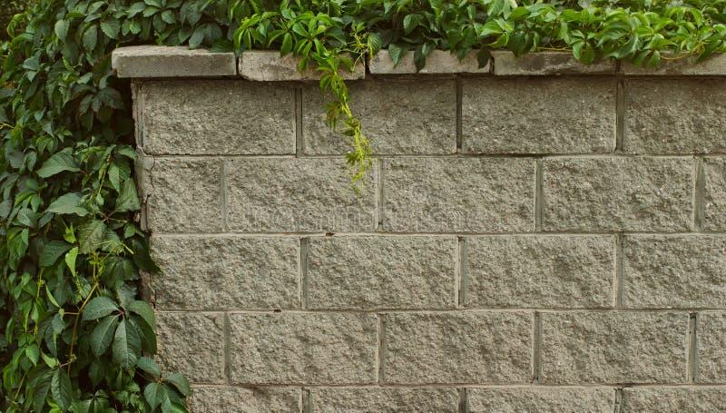 Grå tegelstenvägg som täckas med den lösa druvan royaltyfri foto