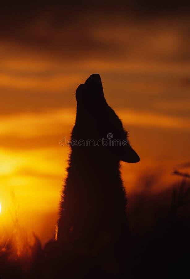grå tjutawolf royaltyfri bild