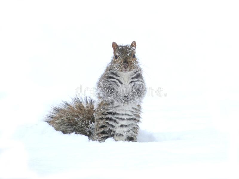 Grå trädekorre i snöstorm arkivbilder