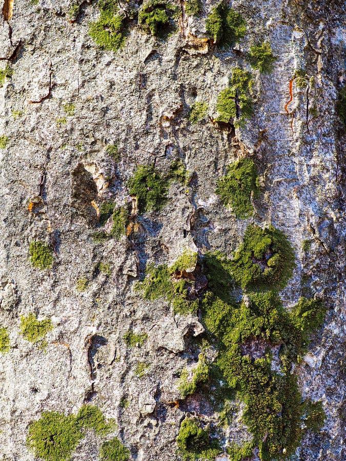 Grå trädstam med ljust - grön mossa royaltyfria bilder