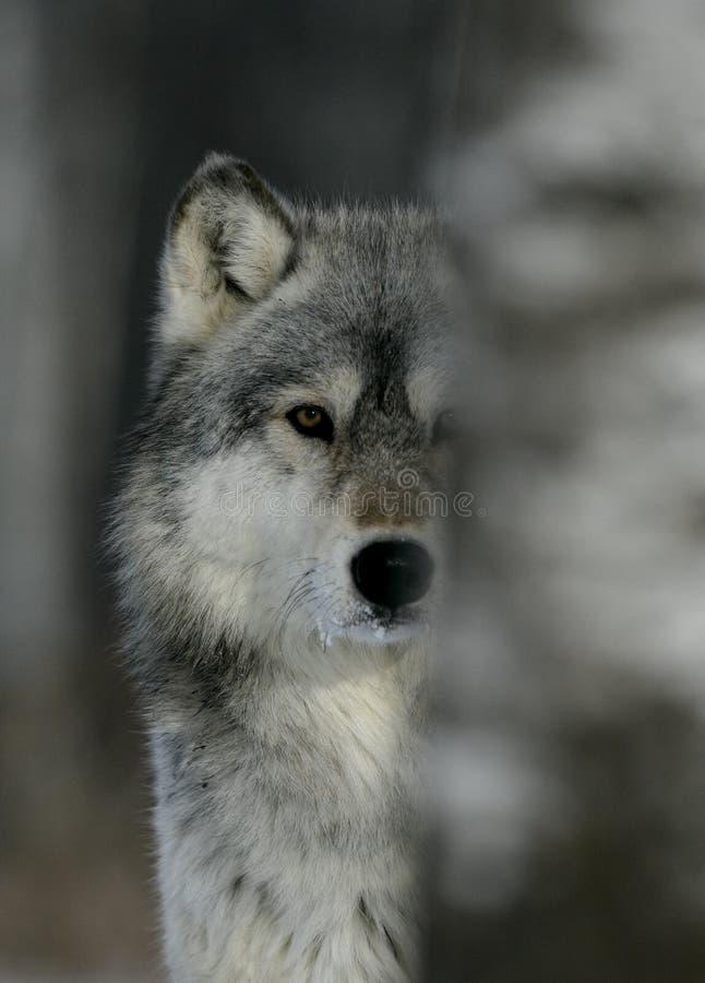 Grå varg, Canislupus royaltyfri fotografi