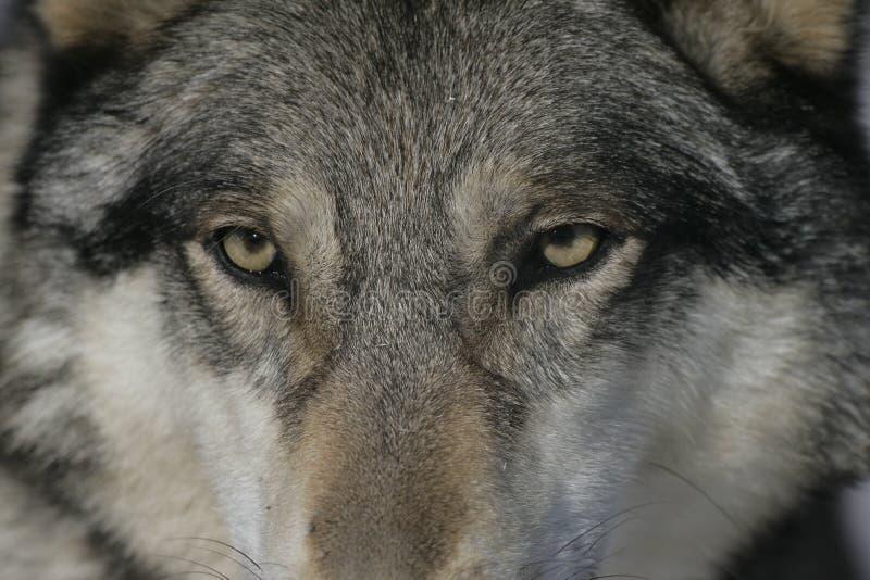 Grå varg, Canislupus royaltyfri bild
