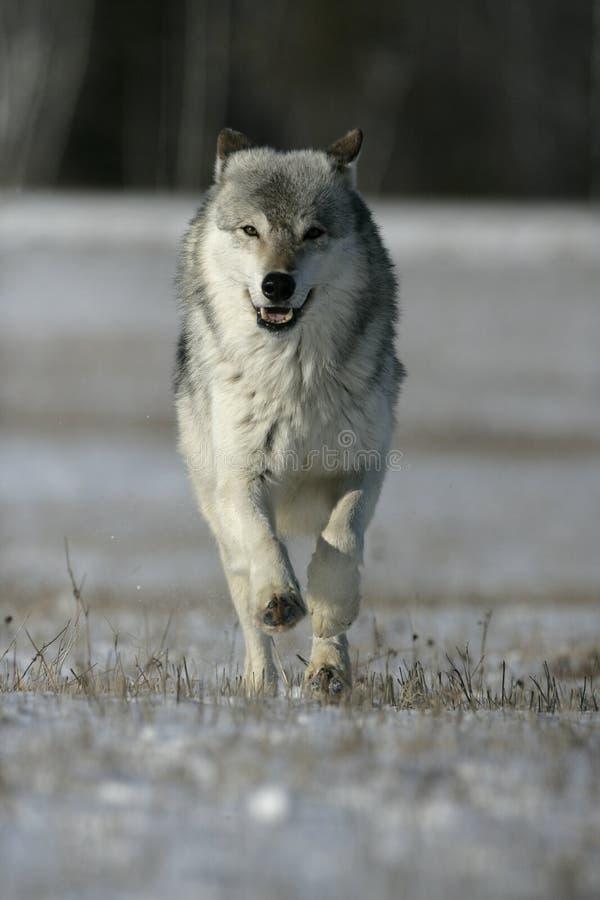 Grå varg, Canislupus fotografering för bildbyråer