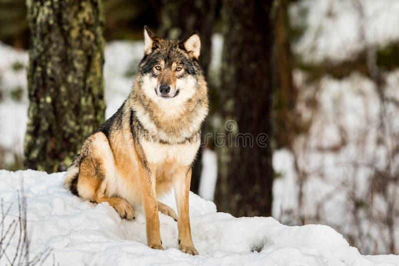 Grå varg, Canislupus som in camera sitter och ser med snö och skogen i bakgrunden fotografering för bildbyråer