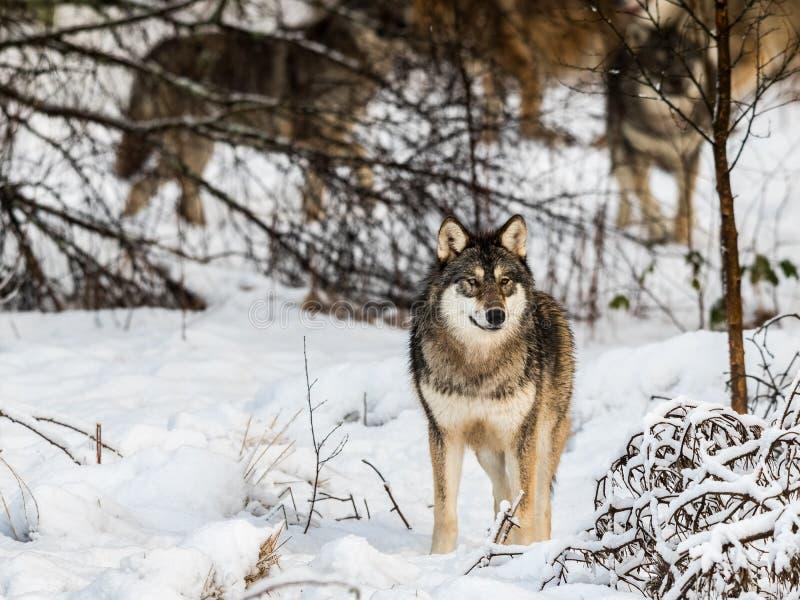 Grå varg, Canislupus som står i snöig vinterskog vila av vargpacken i bakgrunden bak träd fotografering för bildbyråer