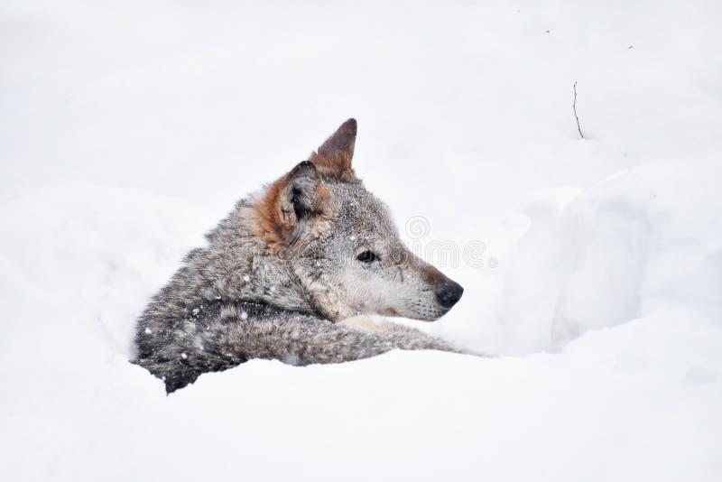 Grå varg som vilar i djup lya för snövinterhåla royaltyfria foton
