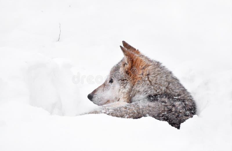 Grå varg som vilar i djup lya för snövinterhåla royaltyfri foto