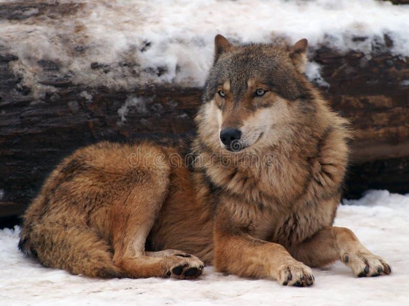 grå vinterwolf royaltyfria foton