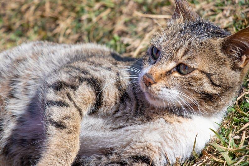 Grå vit kattkattunge som ligger på gräs royaltyfri bild