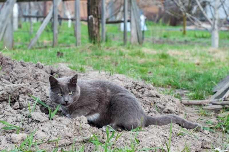 Grå vuxen inhemsk katt royaltyfria bilder