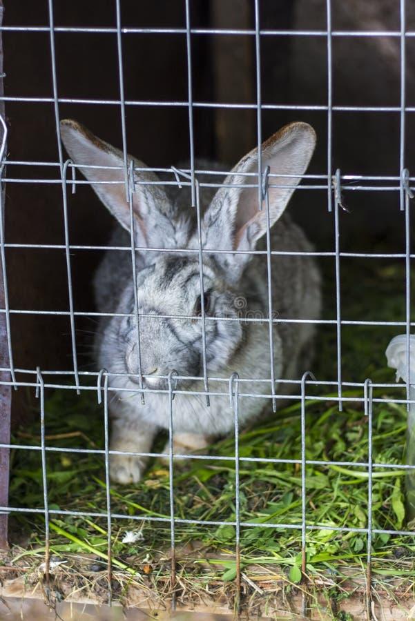 Grå vuxen kanin som sitter i en bur på en lantgård som brukar royaltyfria foton