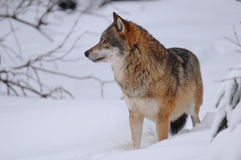 grå wolf arkivbilder