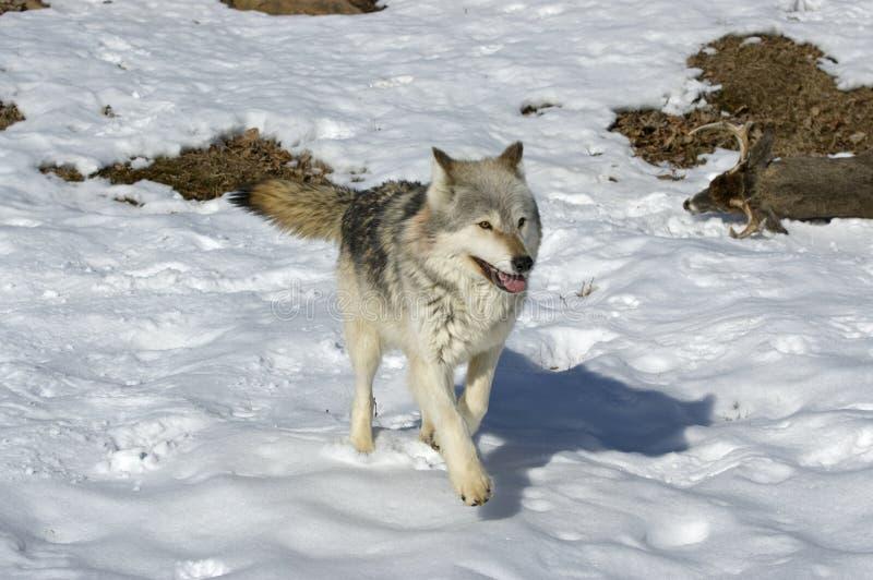 grå wolf arkivfoto