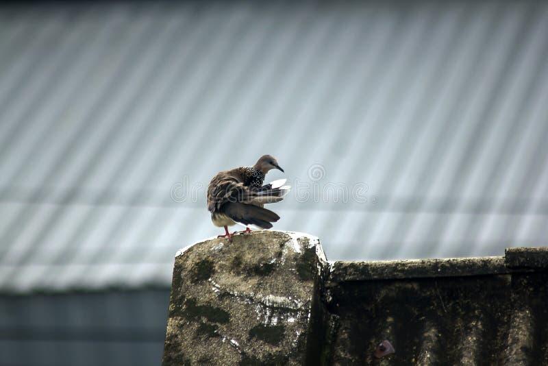 Gråa duvor är på taket av tegelplattan arkivfoto