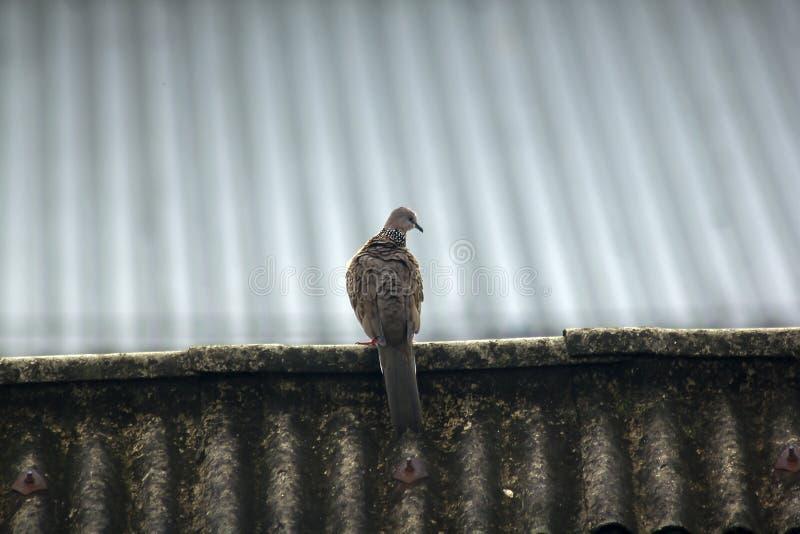 Gråa duvor är på taket av tegelplattan arkivbild