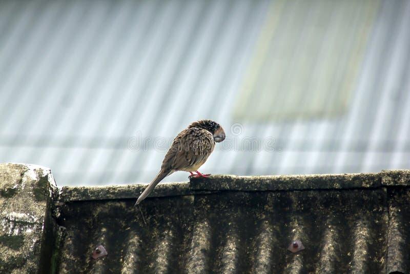 Gråa duvor är på taket av tegelplattan royaltyfria foton