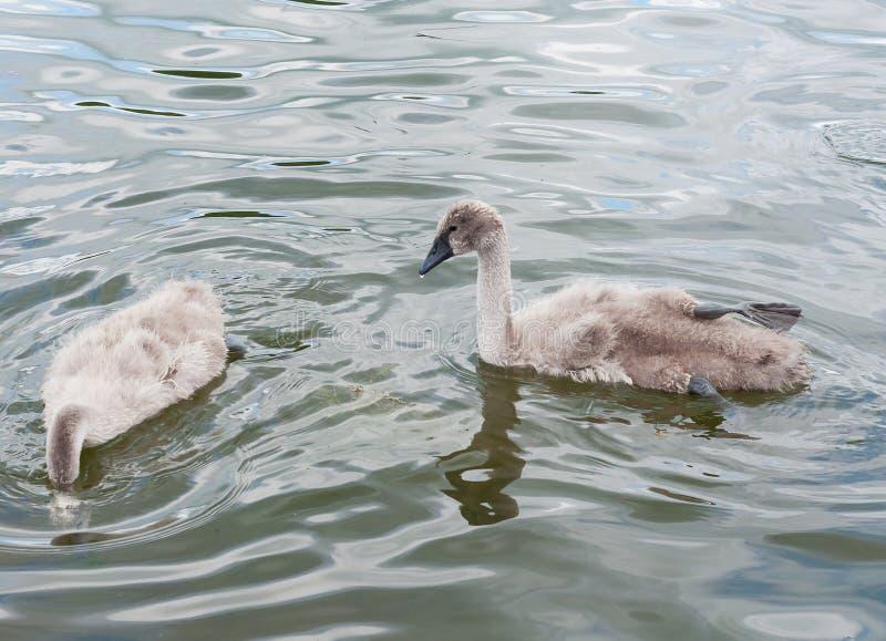 Gråa fluffiga fågelungar för svanCygnusolor på yttersidan för sjö` s lär att simma och mata arkivfoton