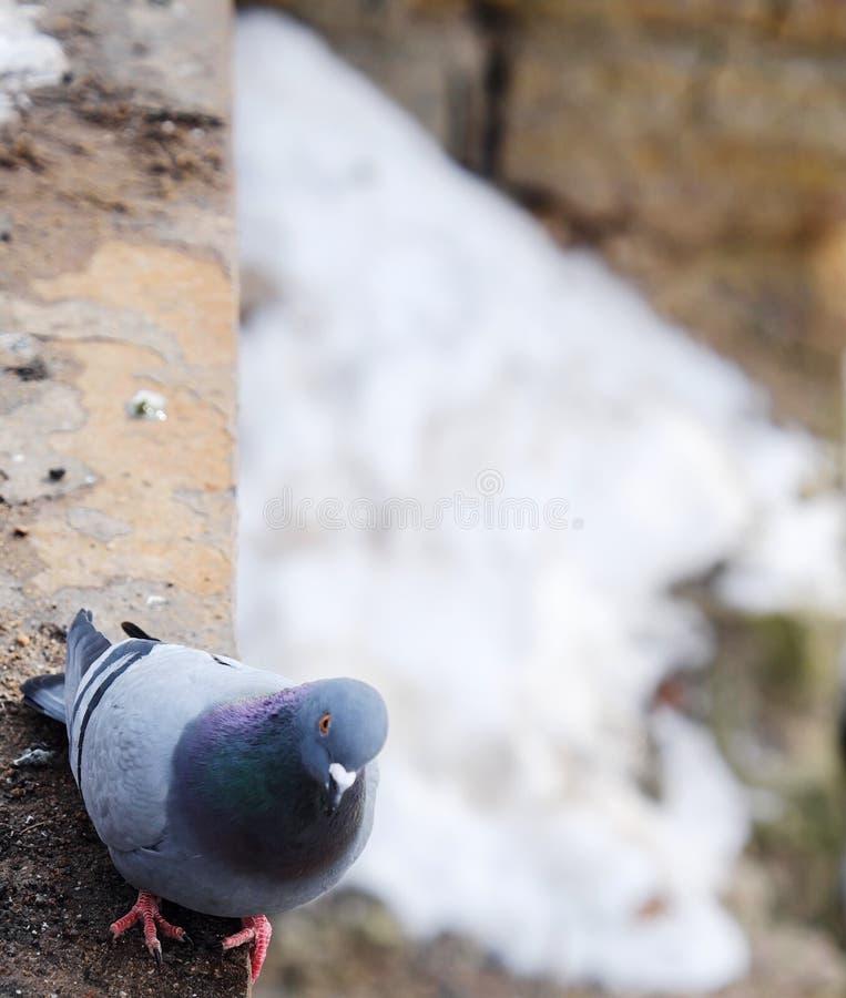 Gråa härliga duvor i vinter på bron fotografering för bildbyråer