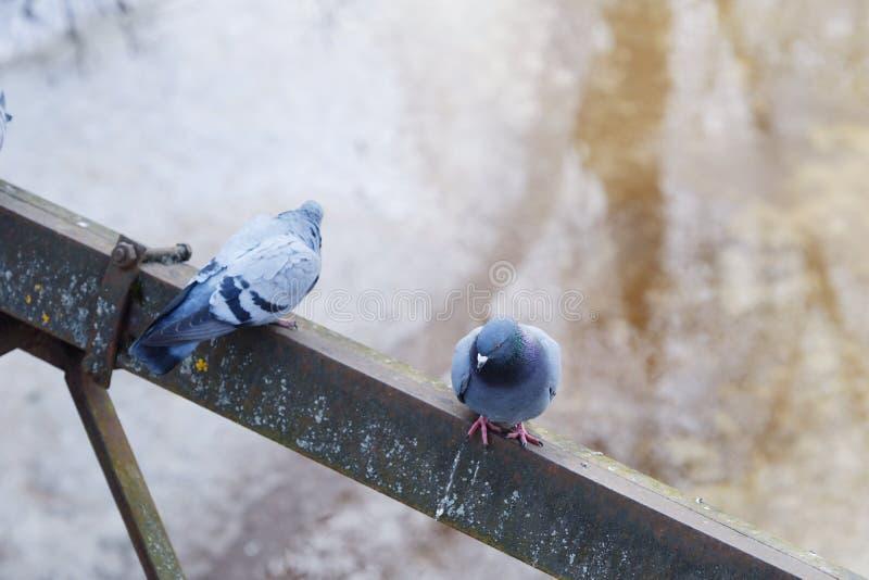 Gråa härliga duvor i vinter på bron royaltyfri bild