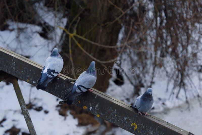 Gråa härliga duvor i vinter på bron arkivfoto