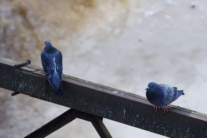 Gråa härliga duvor i vinter på bron royaltyfria bilder
