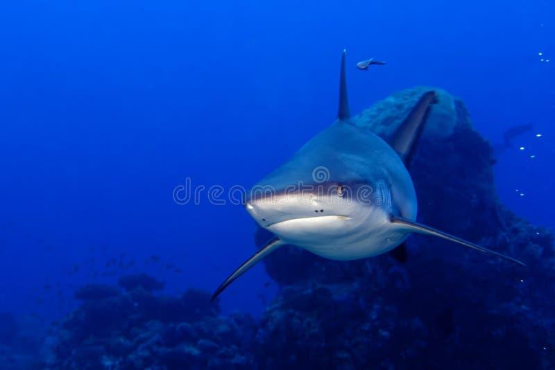 Gråa käkar för en haj som är klara att anfalla undervattens- slut upp ståenden royaltyfria bilder