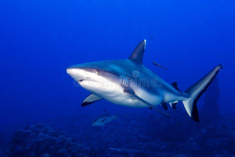 Gråa käkar för en haj som är klara att anfalla undervattens- slut upp ståenden fotografering för bildbyråer