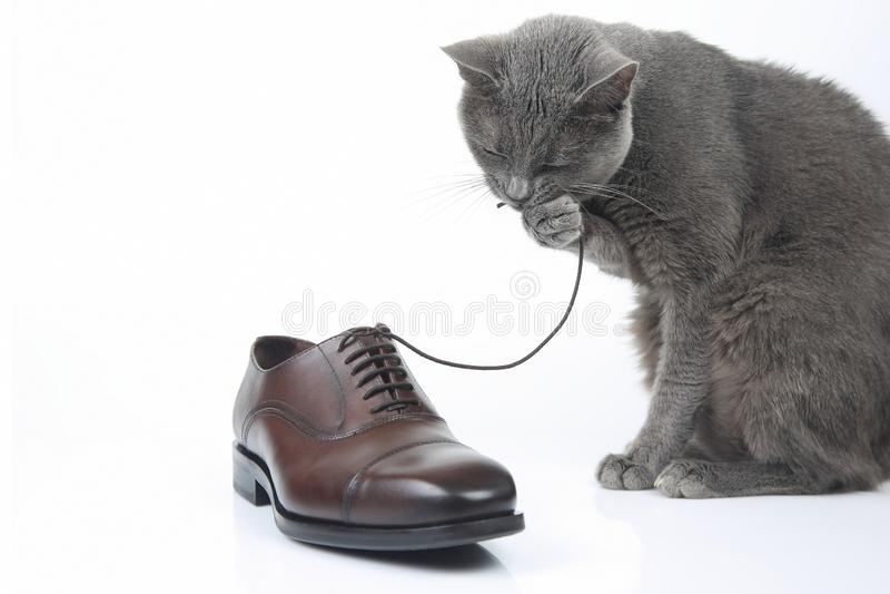 Gråa kattlekar med en klassiker snör åt skon för brunt för man` s på vitbac royaltyfri bild