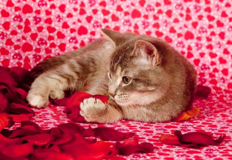 gråa kattungepetals steg arkivbild